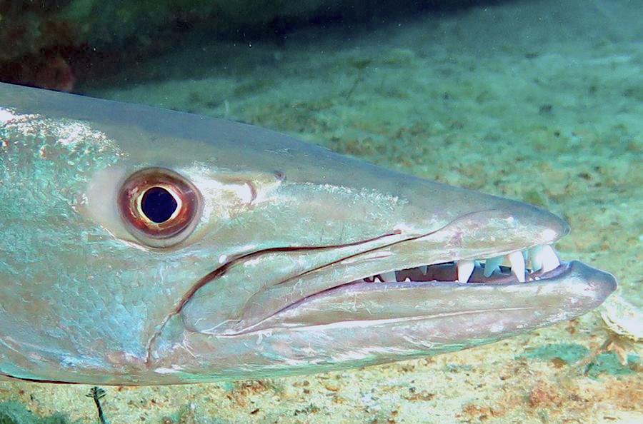 Barracuda, Bahamas (Melinda Riger / G B Scuba)