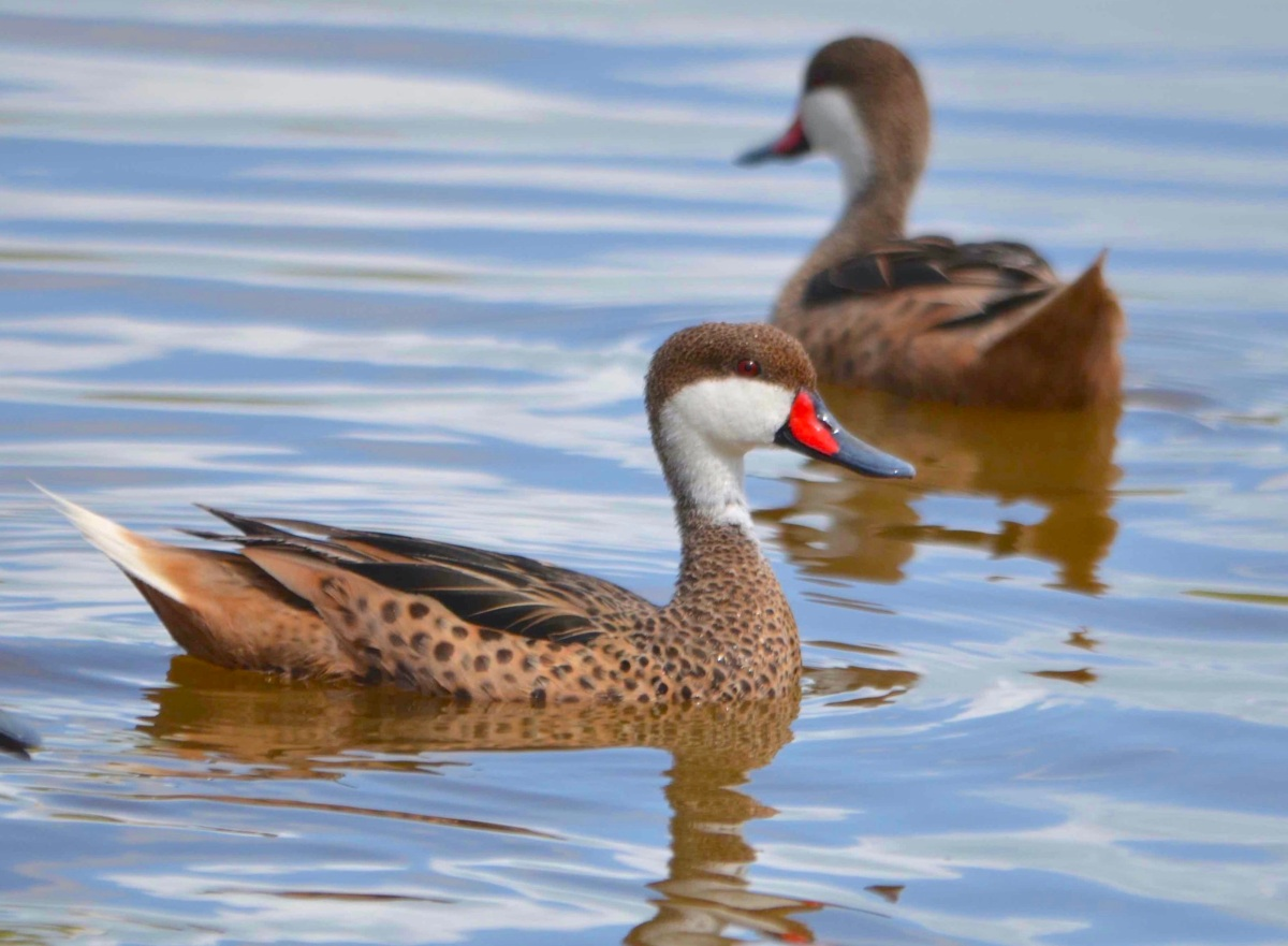 White-cheeked Pintail / Bahama Pintail Ducklings (Charles Skinner)