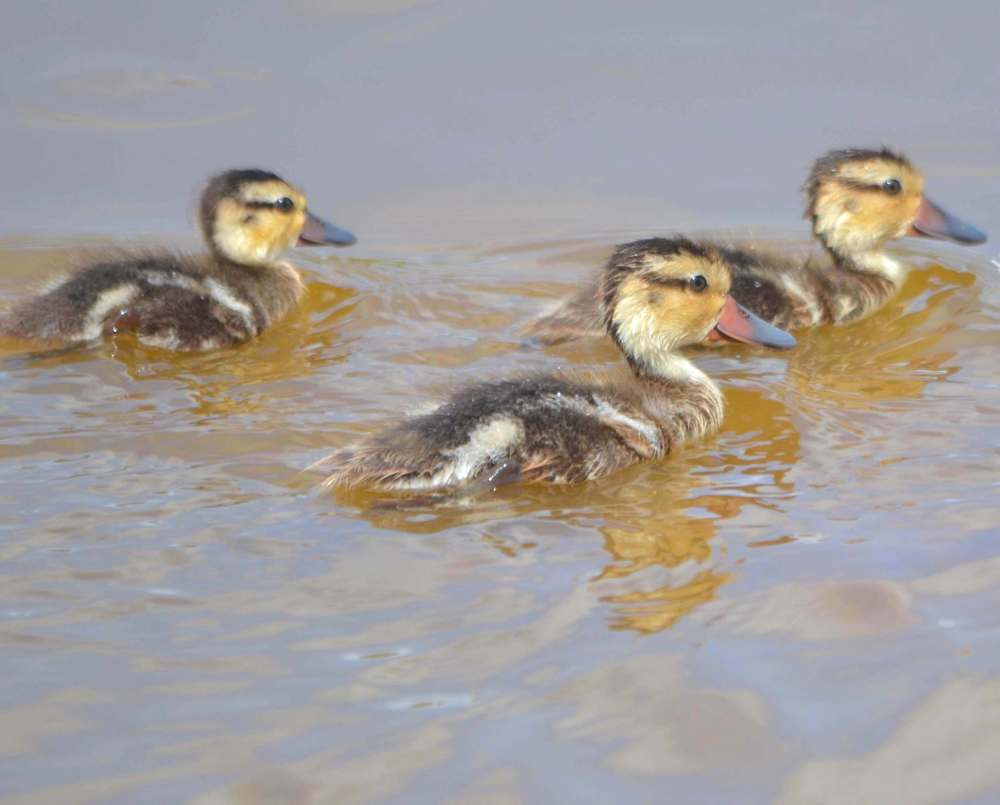 White-cheeked Pintail / Bahama Pintail Ducklings (Tom Sheley)