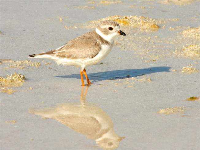 Piping Plover Abaco Bahamas (Bruce Hallett / Keith Salvesen)