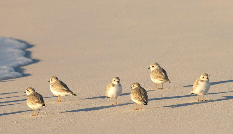 Piping Plovers, Winding Bay, Abaco, Bahamas (Lisa Davies)