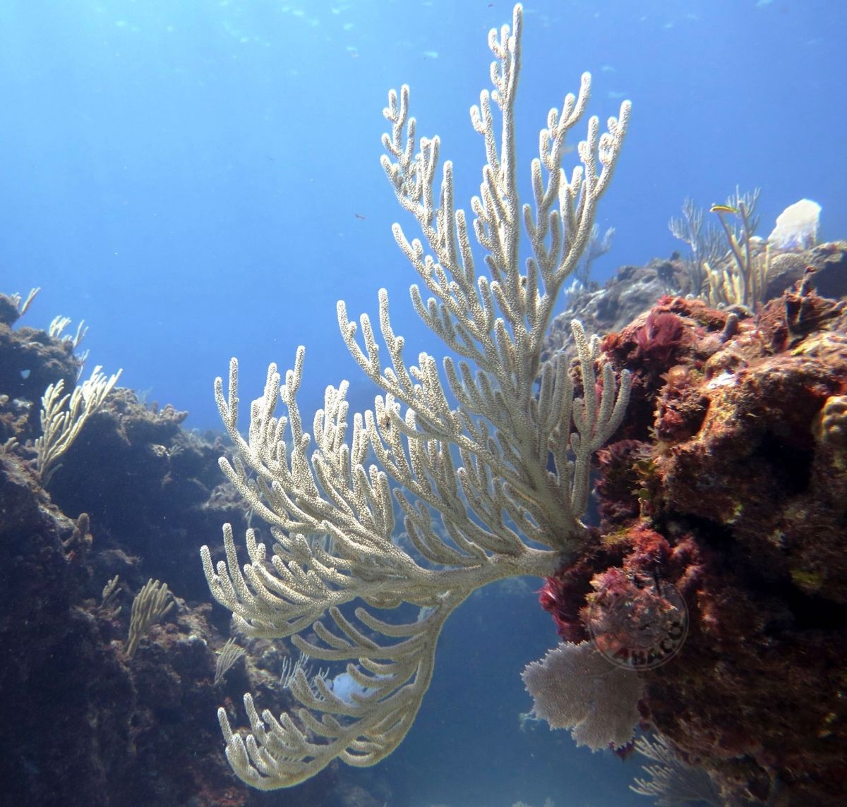 Reef Corals, Abaco Bahamas (Melinda Rogers / Dive Abaco)