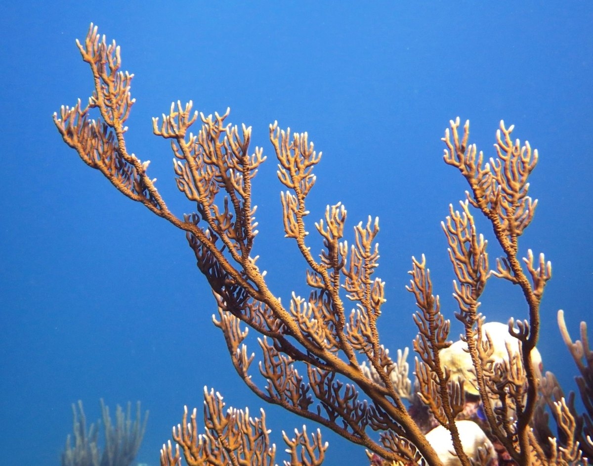 Reef Corals, Abaco Bahamas (Melinda Rogers / Dive Abaco)