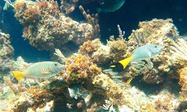 Yellowtail (Redfin) Parrotfish (Melinda Rogers / Dive Abaco)