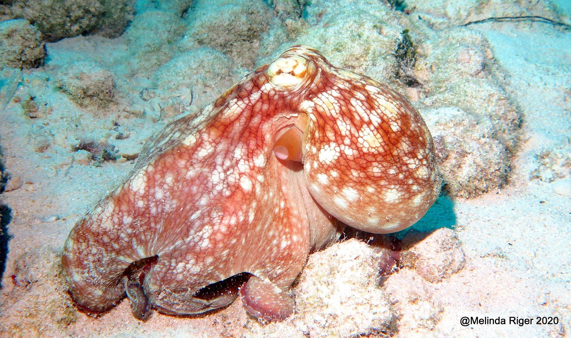 Octopus (Melinda Riger - Grand Bahama Scuba)