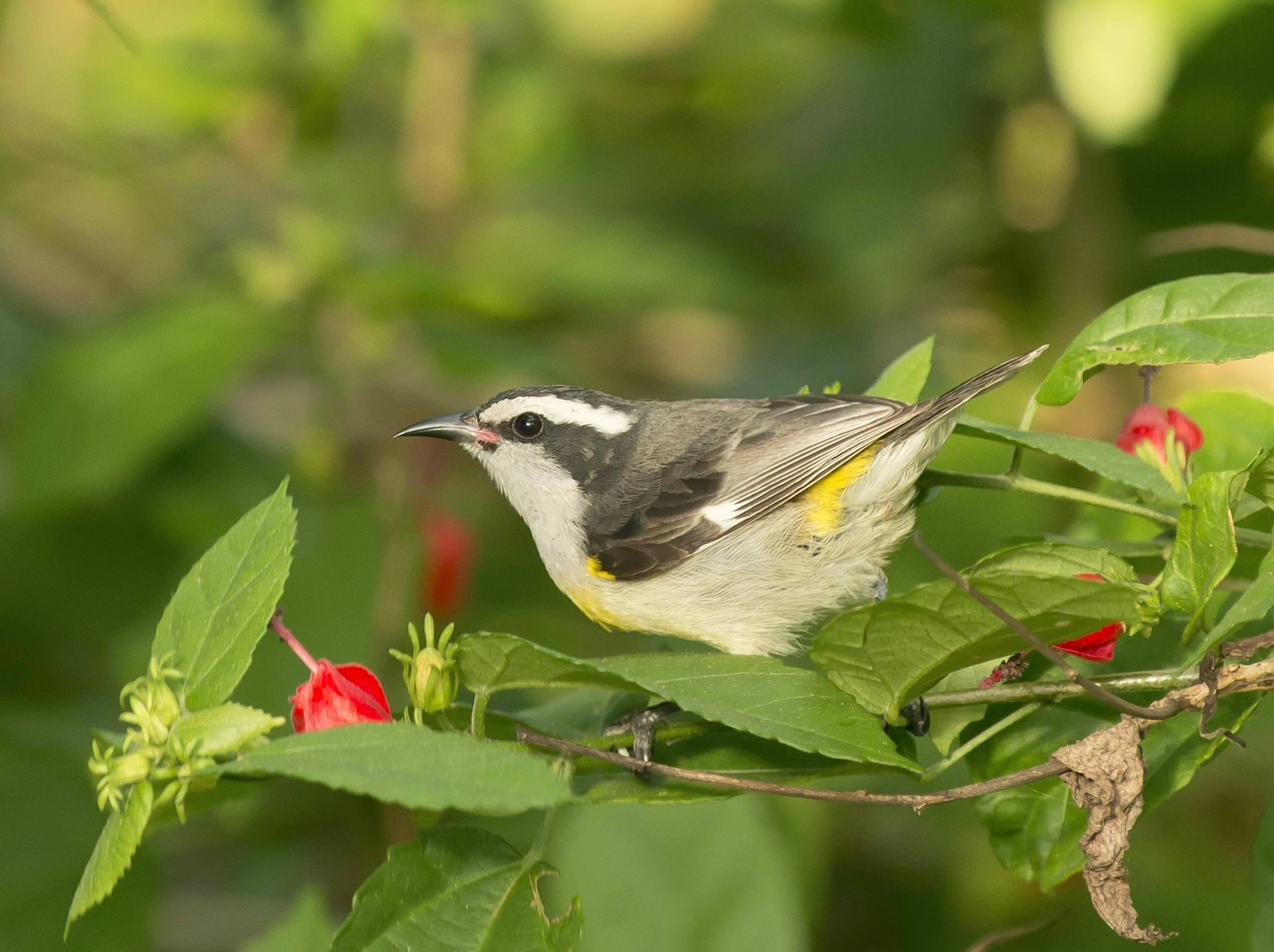 Bananaquit, Abaco Bahamas (Tom Sheley)