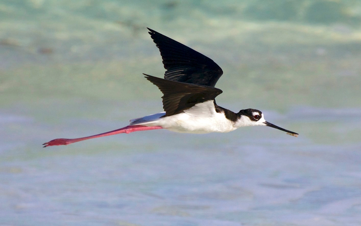 Black-necked Stilt in flight, Abaco Bahamas (Alex Hughes)