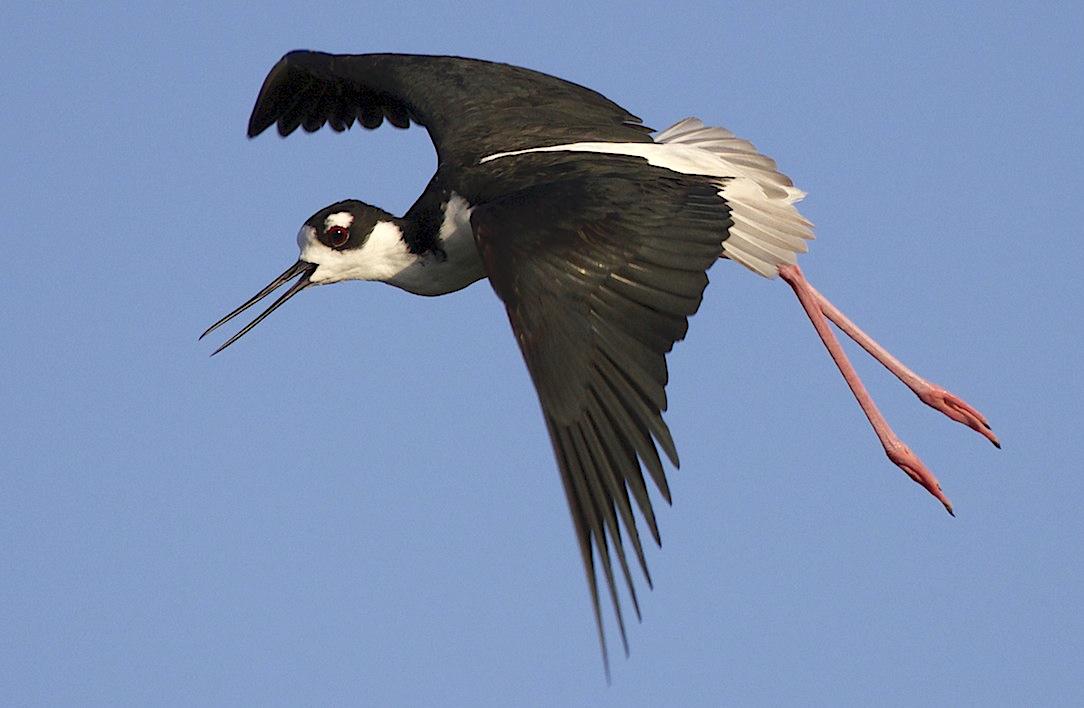 Black-necked Stilt in flight, Abaco Bahamas (Alex Hughes)