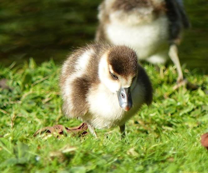 Egyptian Goose Alopochen aegyptiaca (Keith Salvesen / Rolling Harbour)
