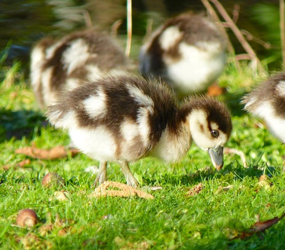 Egyptian Goose Alopochen aegyptiaca Gosling (Keith Salvesen / Rolling Harbour)