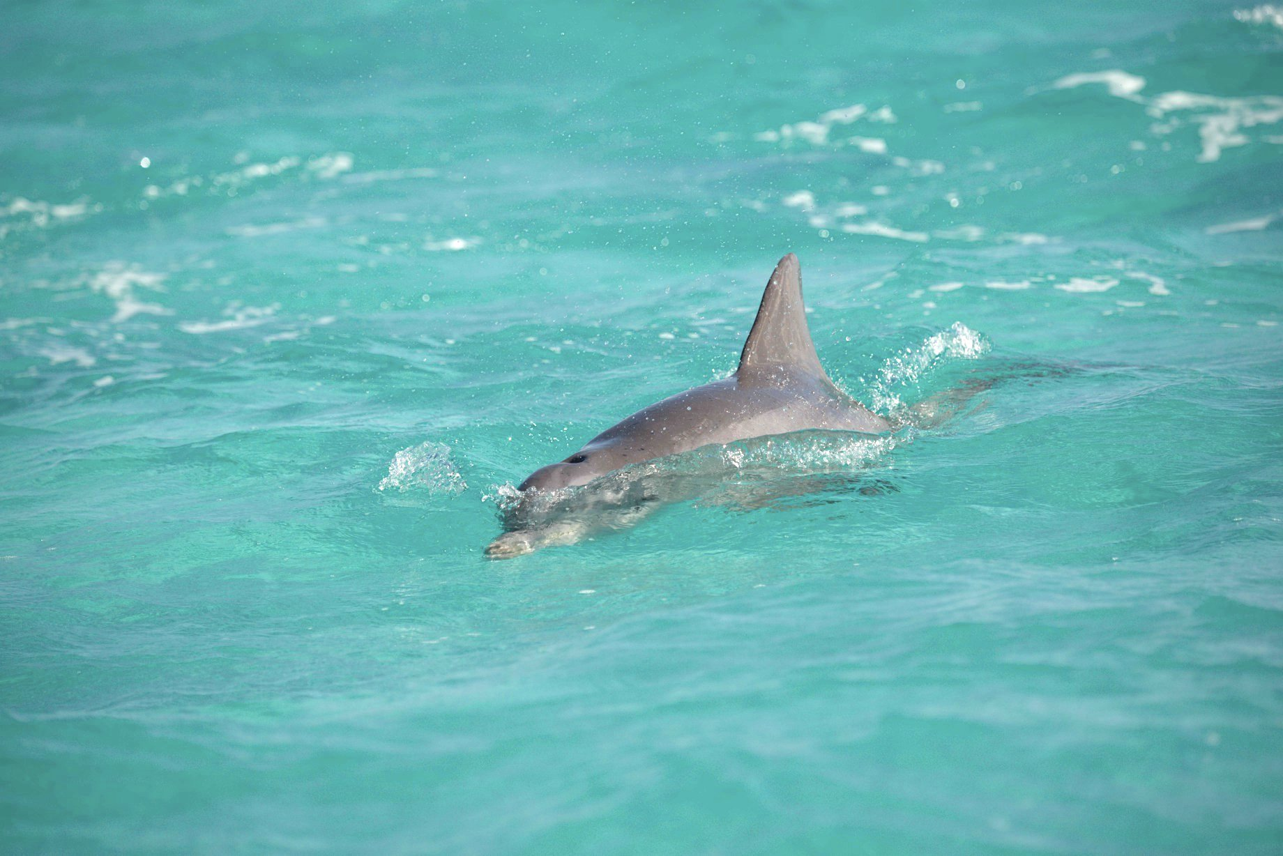 DOLPHINS IN THE SEA OF ABACO, BAHAMAS (BMMRO)