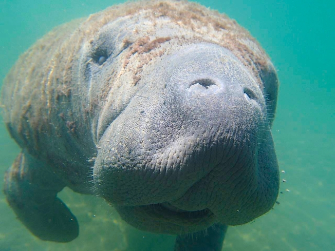 West Indian Manatee, Abaco, Bahamas (Charlotte Dunn / BMMRO)