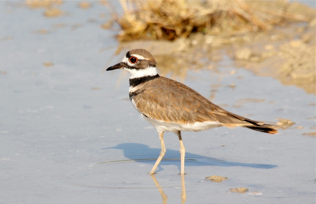 Killdeer, Abaco Bahamas (Bruce Hallett / Birds of Abaco)