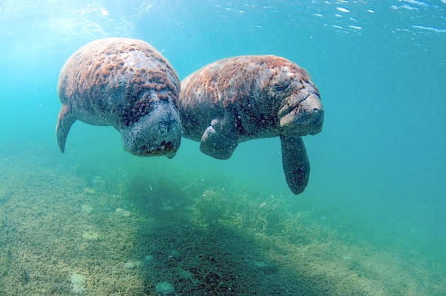West Indian Manatee, Bahamas - Gina & calf Sayle (BMMRO)