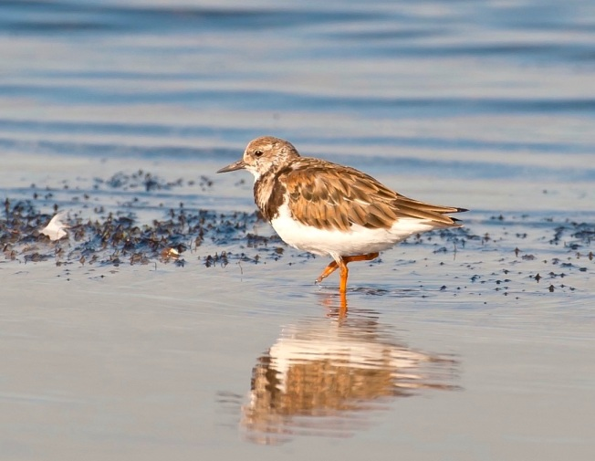 Ruddy Turnstone, Abaco, Bahamas (Tom Sheley)