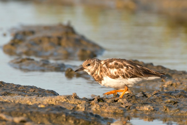 Ruddy Turnstone, the Marls, Abaco, Bahamas (Tom Sheley)