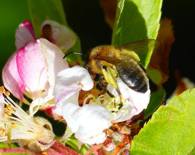 Small Bee - Pollen-covered Keith Salvesen / Rolling Harbour Abaco)