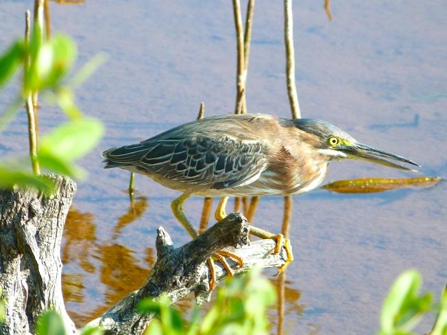 Green Heron, Abaco, Bahamas (Keith Salvesen / Rolling Harbour)