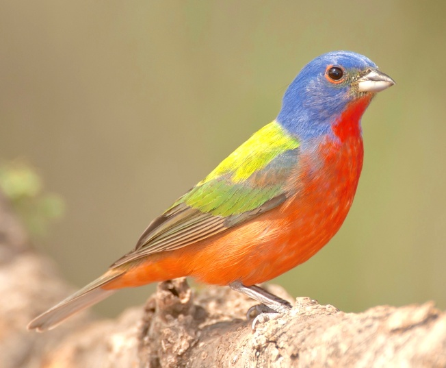 Painted Bunting, Abaco, Bahamas (Tom Sheley)