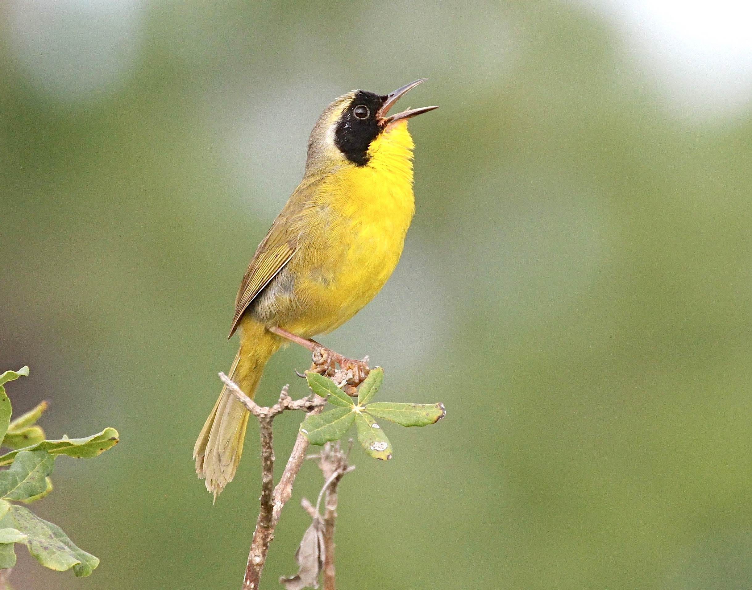 Bahama Yellowthroat, Abaco, Bahamas (Bruce Hallett)