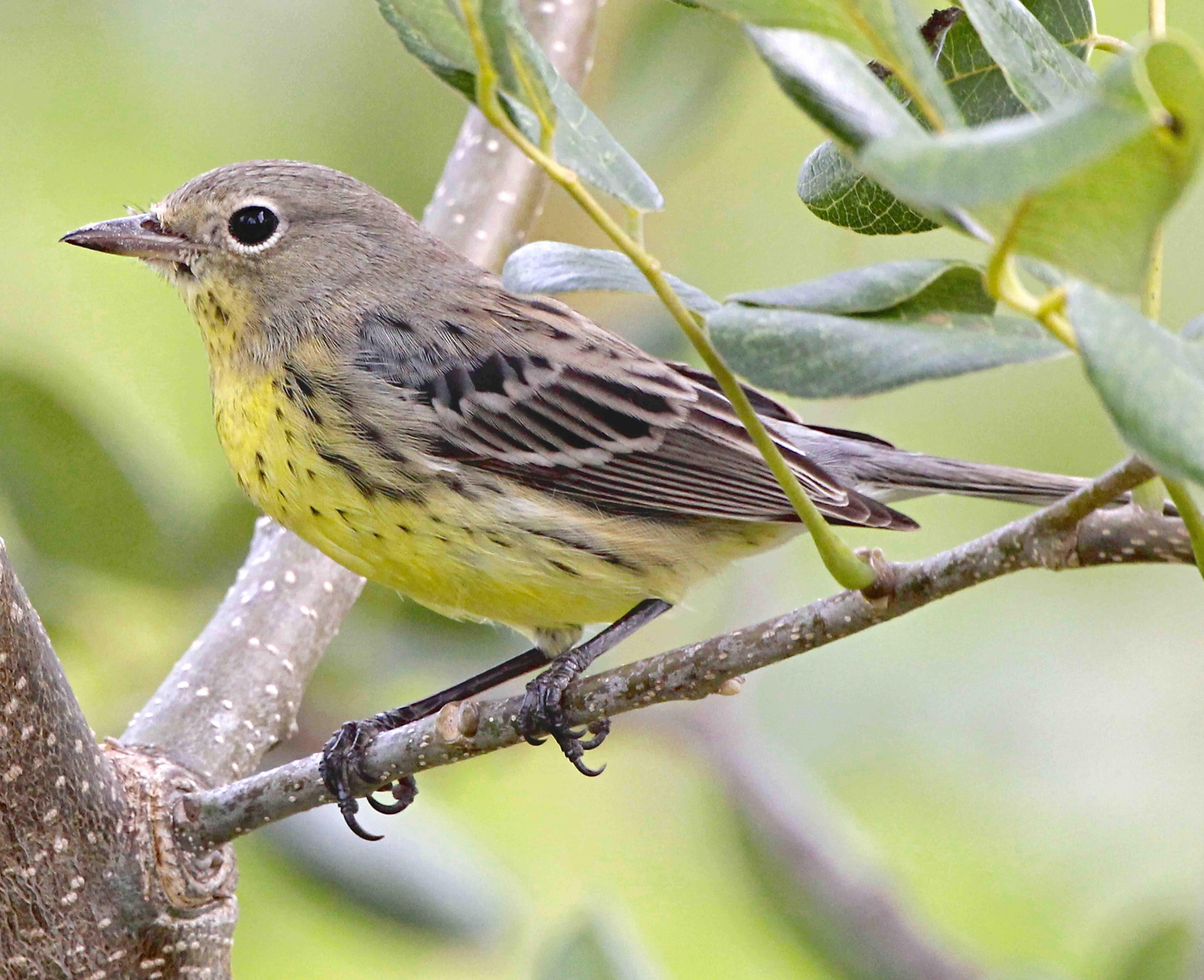 Kirtland's Warbler Abaco Bahamas (Bruce Hallett)