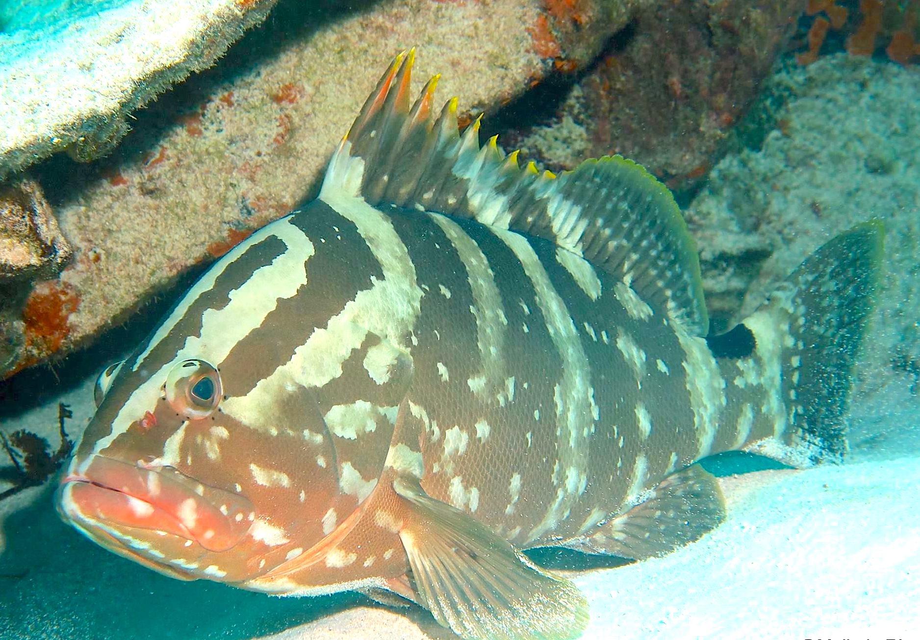 Nassau Grouper (Melinda Riger / G B Scuba