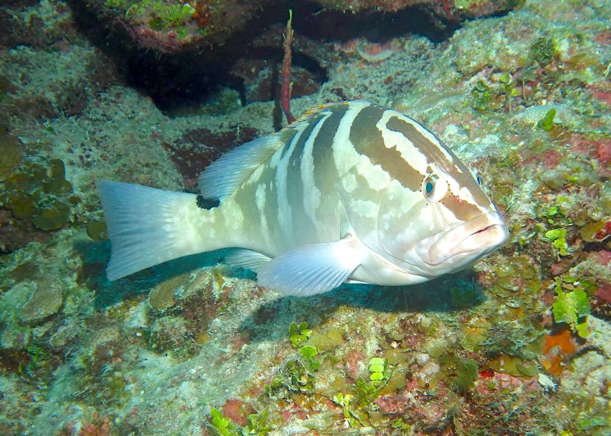 Nassau Grouper (Melinda Riger / G B Scuba)