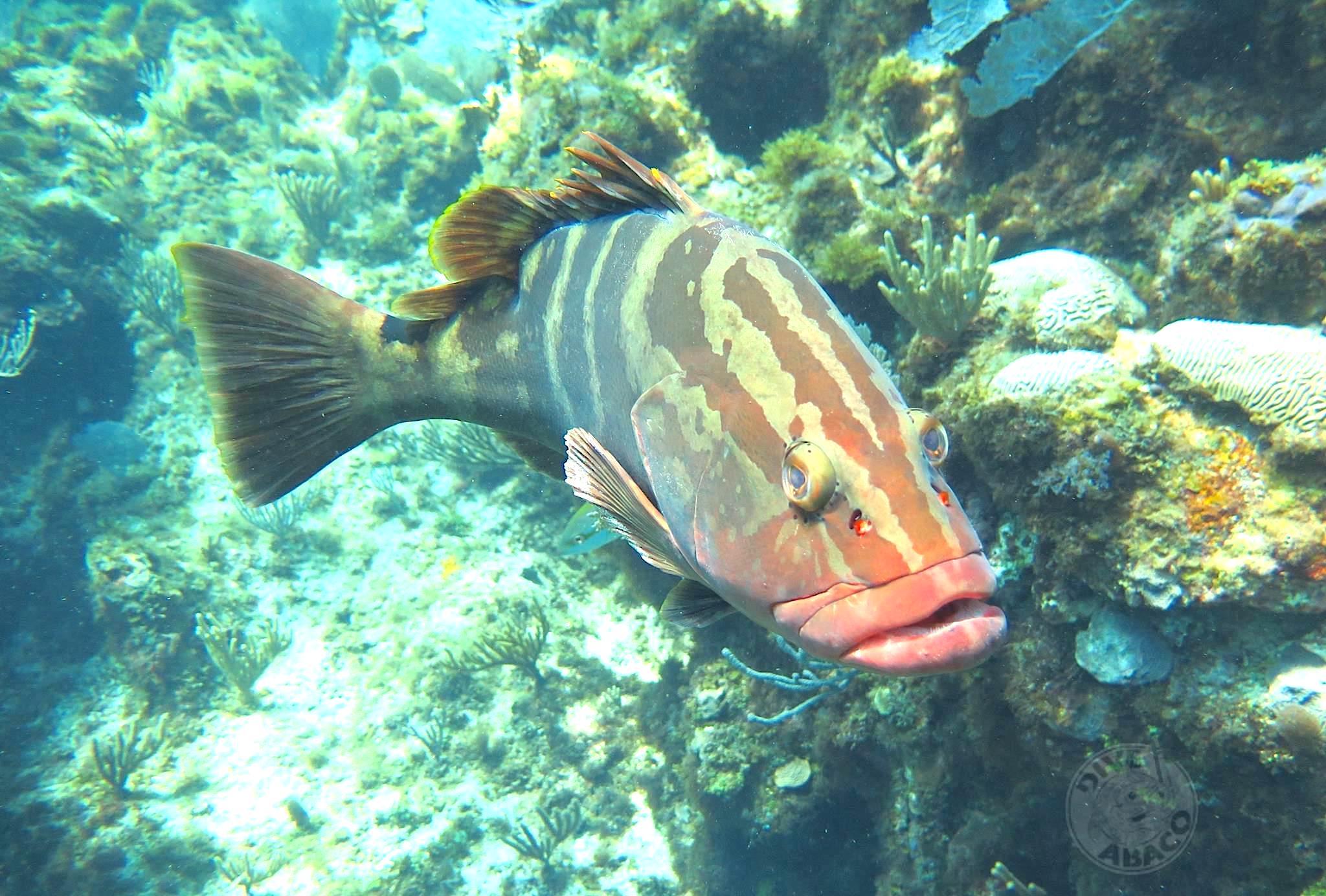 Nassau Grouper (Melinda Rogers / Dive Abaco)