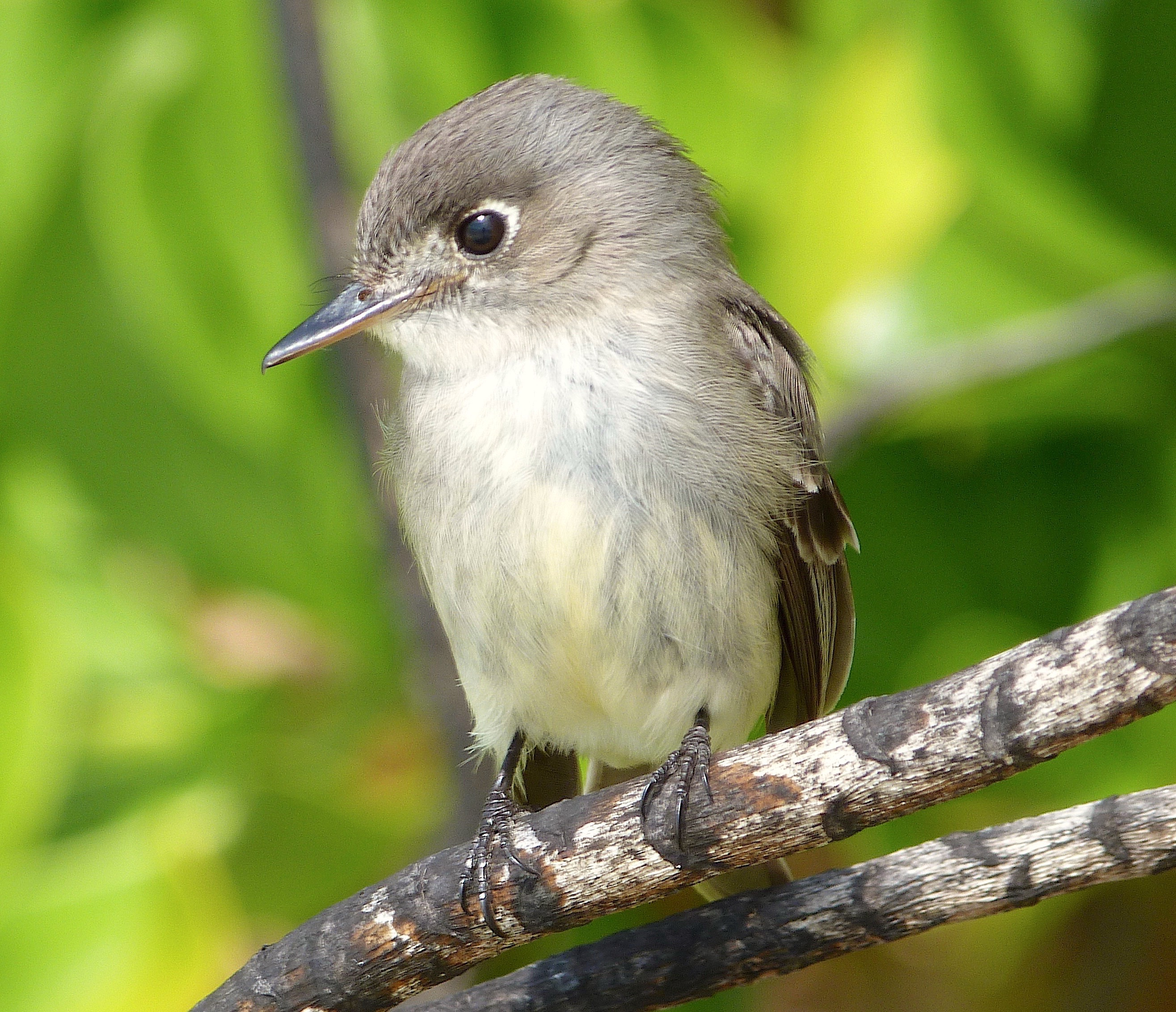 Cuban Pewee, Abaco, Bahamas (Keith Salvesen / Rolling Harbour)
