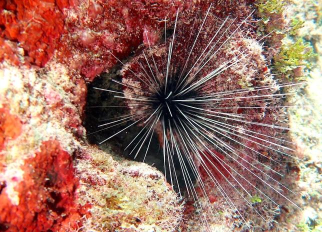 Sea Urchin, Abaco, Bahamas (Melinda Rogers / Dive Abaco)