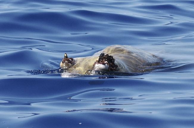 Blainville's Beaked Whale Abaco, Bahamas (Keith Salvesen / BMMRO)