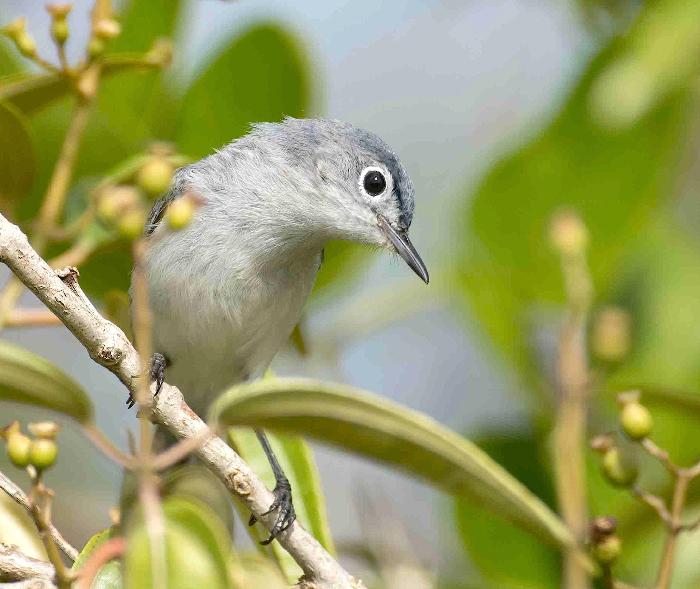 Blue-gray Gnatcatcher, Abaco, Bahamas (Tom Sheley)