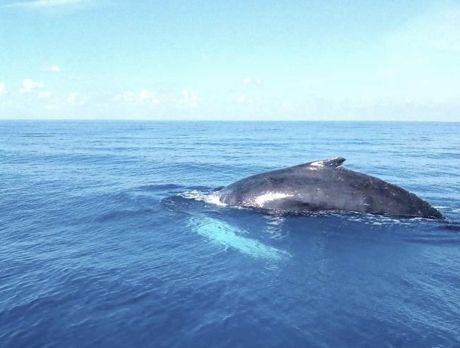 Humpback Whale, Abaco, Bahamas (Charlotte Dunn / BMMRO)