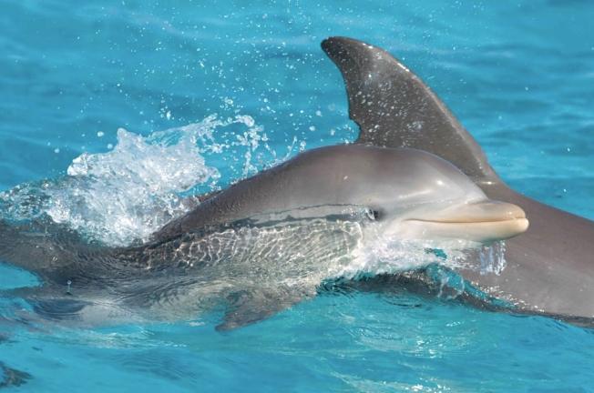 Bottlenose Dolphins, Abaco, Bahamas (Charlotte Dunn / BMMRO)