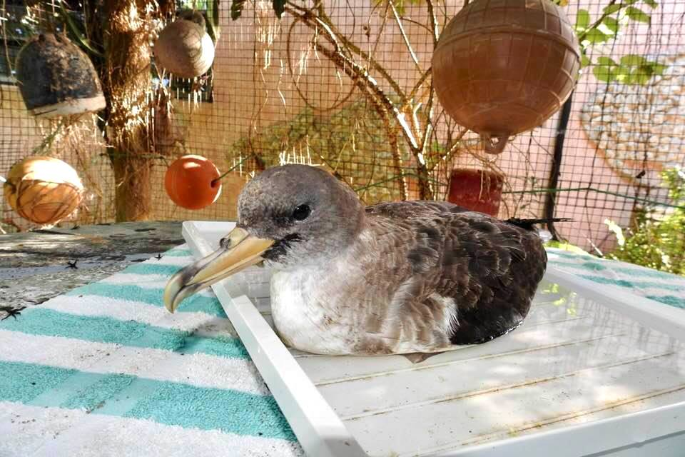 Shearwater die-off 2020 Abaco Bahamas (Melissa Maura)