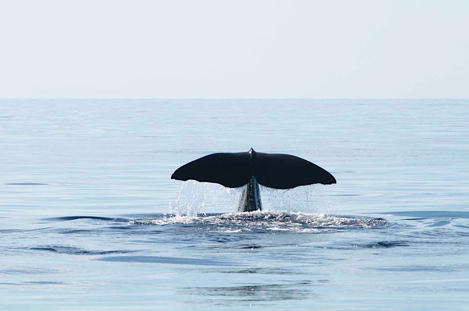 Sperm Whale, Abaco, Bahamas (Charlotte Dunn / BMMRO)