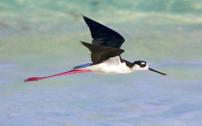 Black-necked Stilt, Abaco, Bahamas (Alex Hughes)