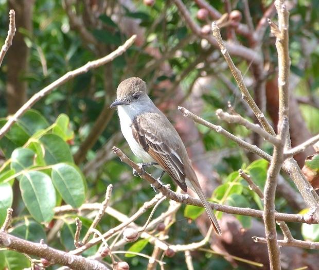 La Sagra's Flycatcher, Abaco Bahamas (Keith Salvesen / Rolling Harbour)