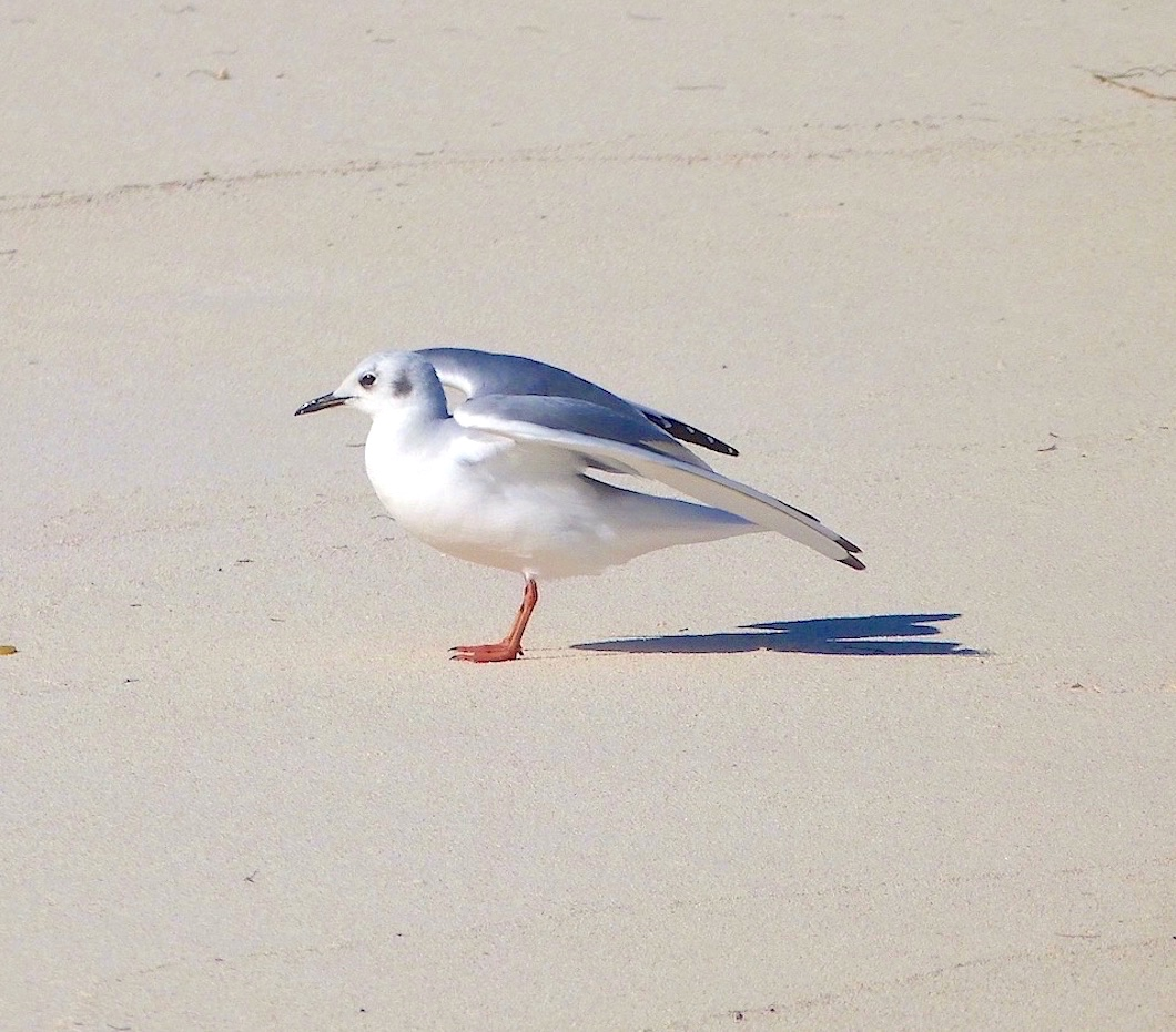 Bonaparte's Gull, Abaco Bahamas (Keith Salvesen / Rolling Harbour)