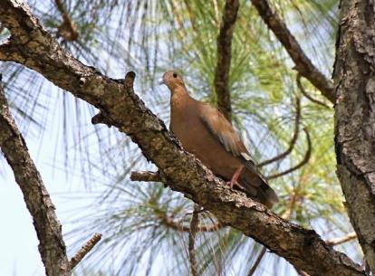 Zenaida Dove, Abaco Bahamas (Bruce Hallett)
