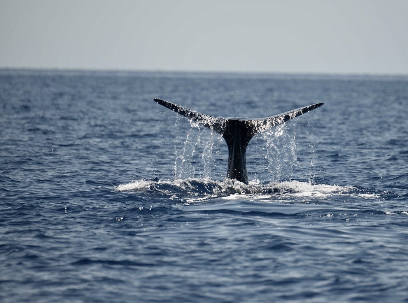 Sperm Whale Tailing, Abaco Bahamas (Charlotte Dunn / BMMRO)