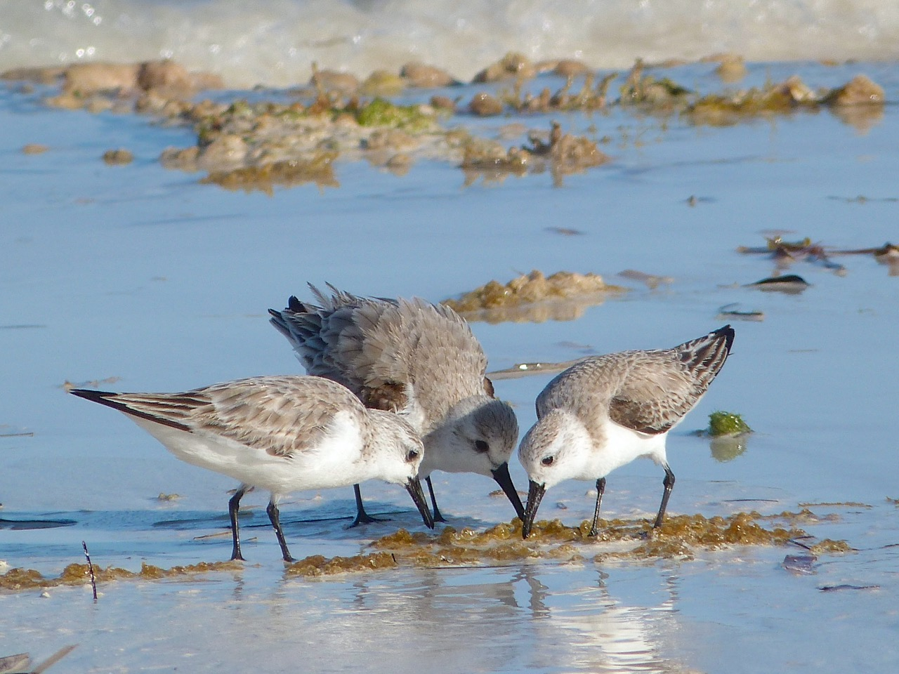 Sanderlings on Delphi Beach, Abaco, Bahamas (Keith Salvesen)