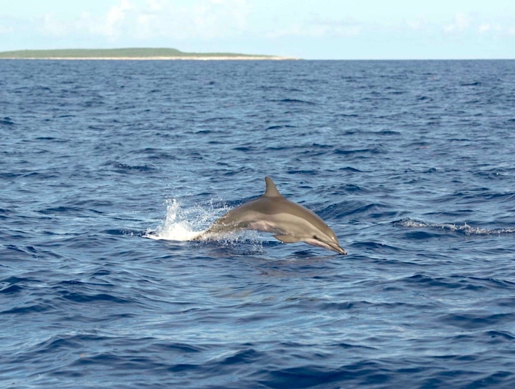 Atlantic Spotted Dolphins . Abaco Bahamas . @BMMRO